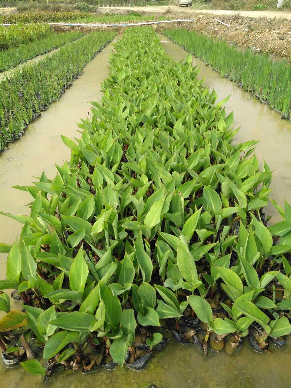 江西水生植物,江西水生植物有保护环境的说法对吗